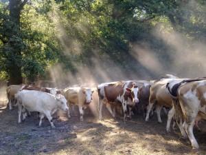 Vály volgyi Kalas tehénkék